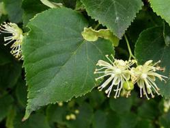 Листья и цветки липы