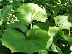 Летние листья мать-и-мачехи