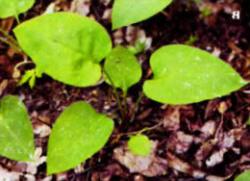 Летние листья медуницы