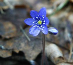Цветок печеночницы благородной