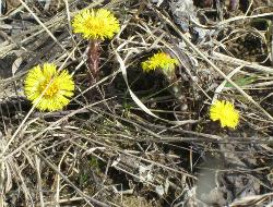 Цветет мать-и-мачеха
