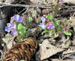 Цветет медуница неясная