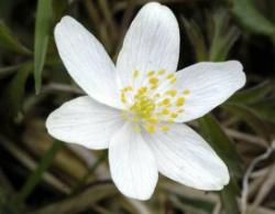 Цветет ветреница дубравная