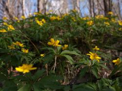 Цветет ветреница лютиковая
