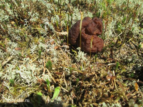 Весенний гриб строчок