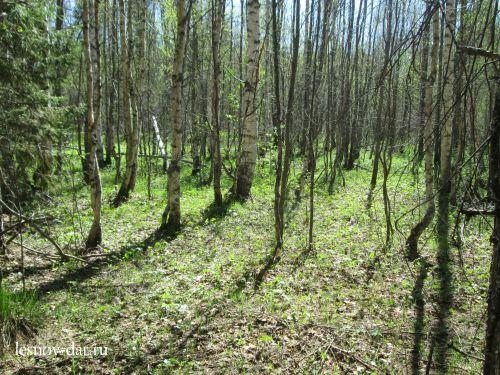 Весенний лиственный лес