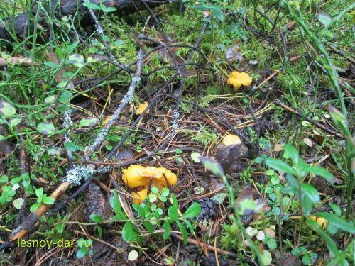 Лисички в сосновом бору