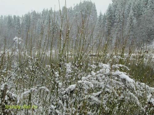 Ивы под снегом