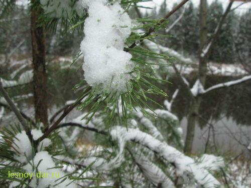 Сосна. Первый снег