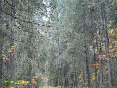 Уснея на елях