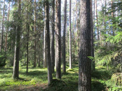 sosnovyj_les