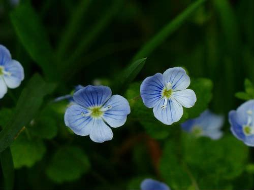 veronika_dubravnaya-cvetki