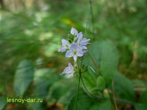veronika_lekarstvennaya-cvetki