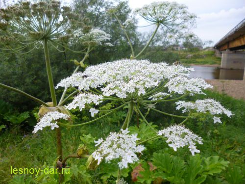 В соцветии борщевика Сосновского - крупные белые цветки. В центральном зонтике - уже плоды