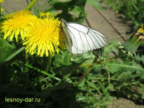oduvanchik_I_boyaryshnica