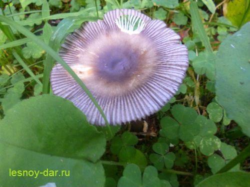 poplavok_seryj-staryj