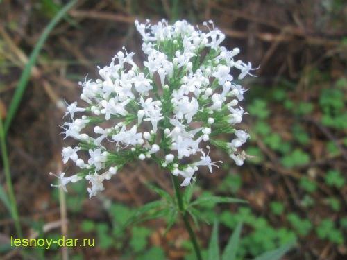 valeriana_lekarstvennaya-cvetki