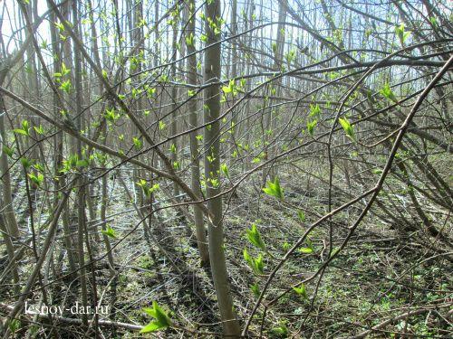 Распускаются листья на черемухе