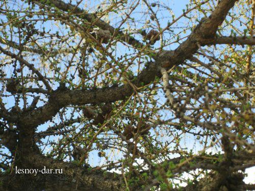 Зеленение лиственницы