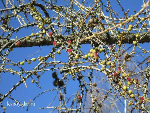 Лиственница сибирская ранней весной