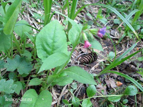 Медуница в конце весны