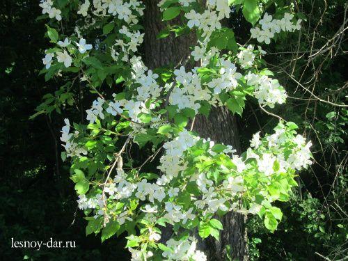 Цветущая яблоня в лесу