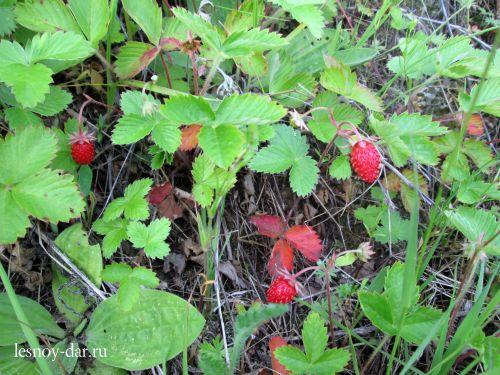 Плоды земляники лесной
