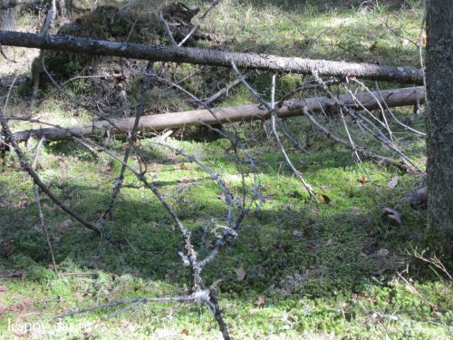 Заболачивающийся лес