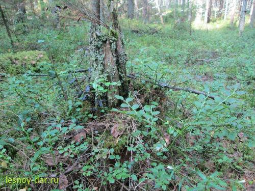 Черника в еловом лесу