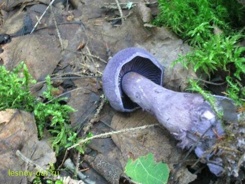 Паутинник фиолетовый