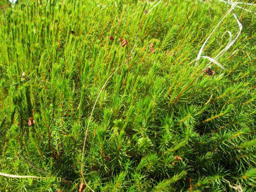 Кукушкин лен весной