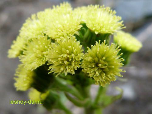 belokopytnik-cvetki