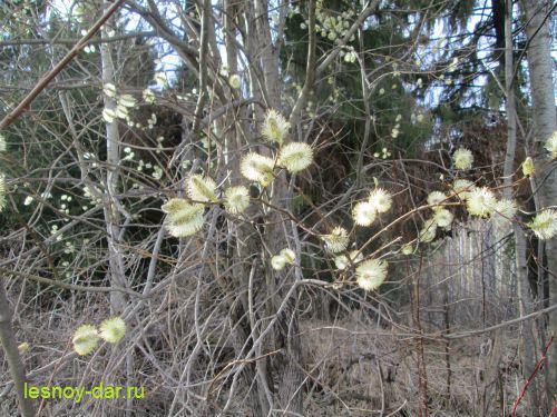 iva-kozya-cvetet