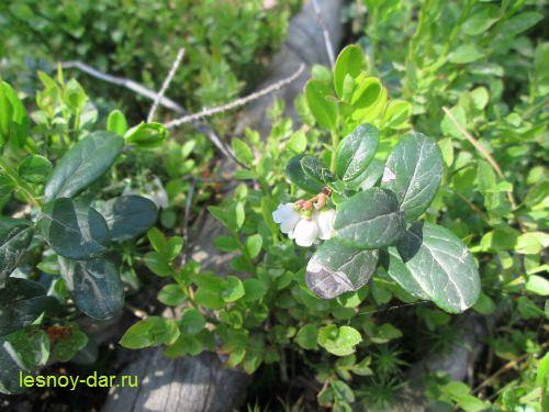 cvetet-brusnika