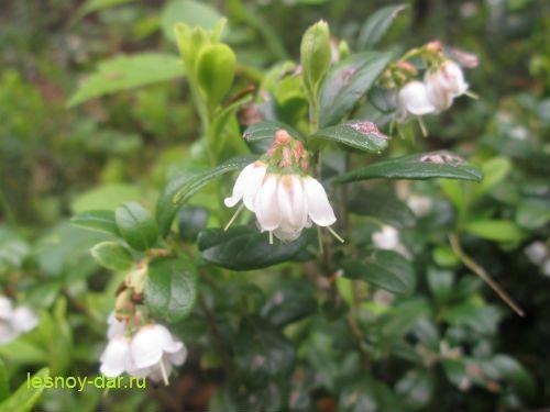 cvetki-brusniki