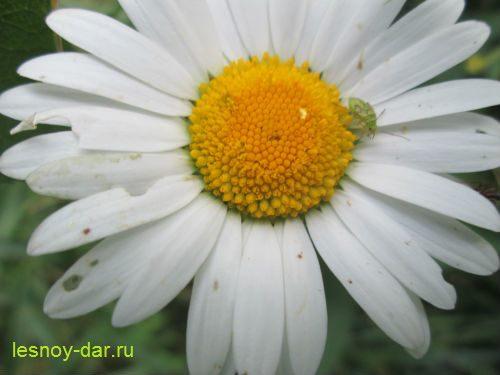 nivyanik_obyknovennyj-cvetki