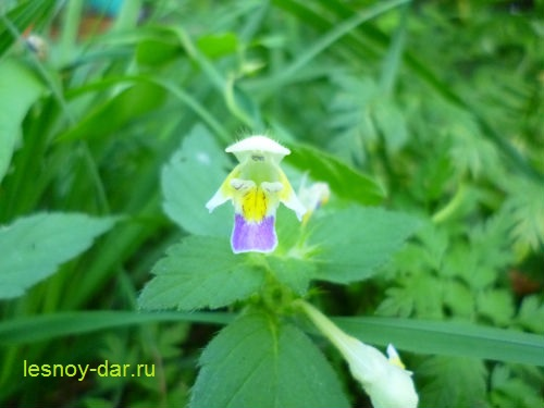 pikulnik_krasivyj-cvetok