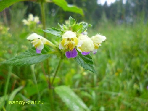 pikulnik_krasivyj-cvetki
