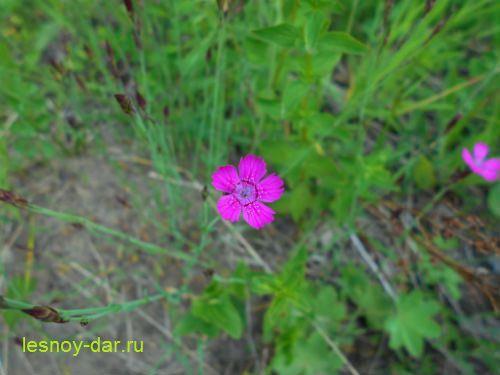 gvozdika_travyanka-cvetok