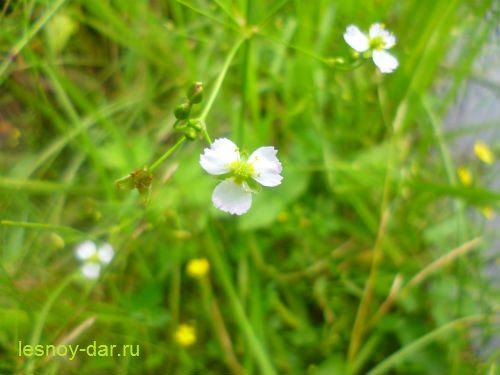 chastuxa_podorozhnikovaja-cvetok