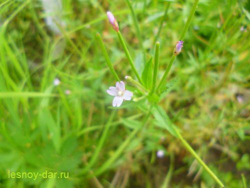 kiprej_rosovyj-cvetok