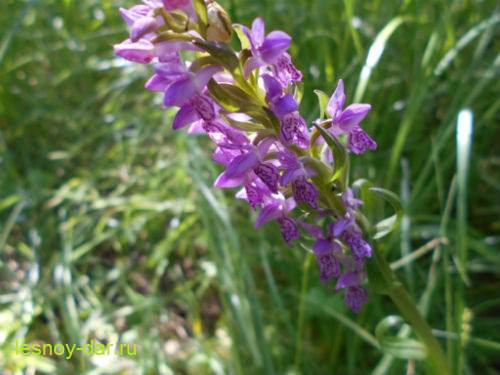 palchatokorennik_myaso-krasnyj-cvetki