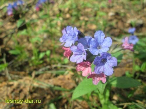 medunica_neyasnaya-cvetki