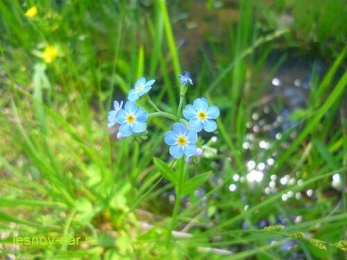 nezabudka_bolotnaya-cvetki